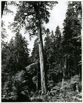 1300-year-old Douglas fir on Waterloo Mountain