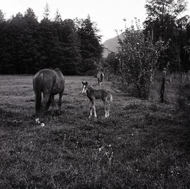 Horse and foal in field