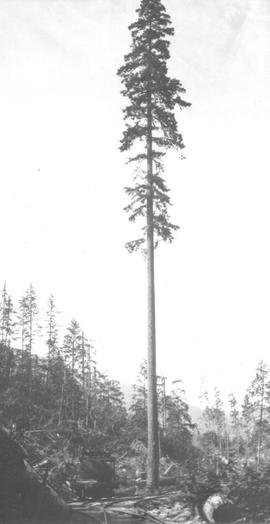 Tall tree along tracks used by Merrill & Ring Logging